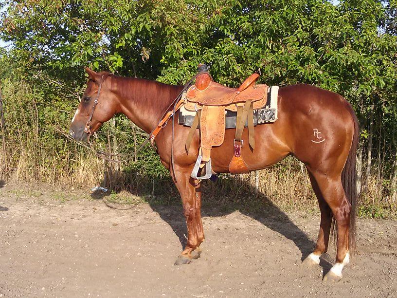 12 yr old Heel Horse