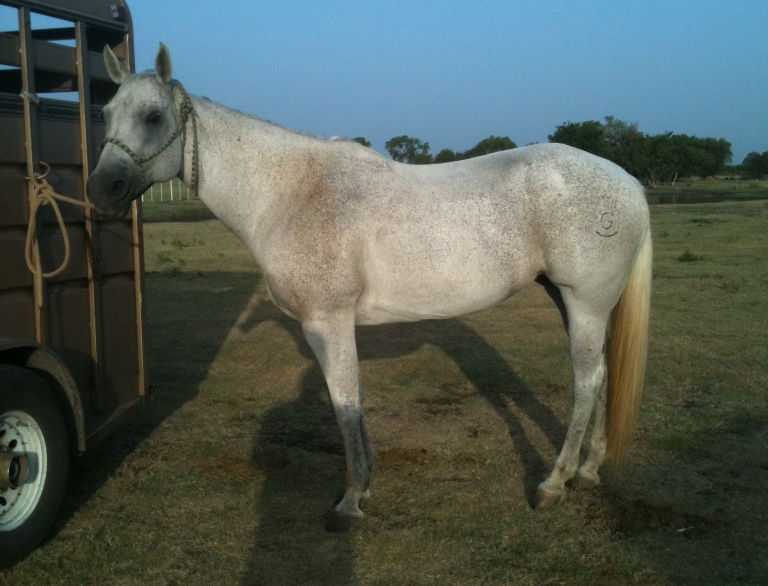 13 Yr Old Mare - Head or Heel
