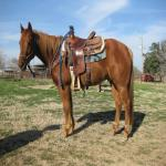 7 Year Old Heel Horse For Sale