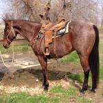 Video 8 yr old Bay Roan HEAD HORSE Gelding