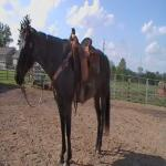 Blue Roan Head/Heeal Horse Beginner Safe