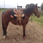 All-Around Rodeo Horse-NEED TO SELL!!