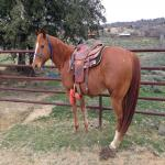 Heel/Head Quarter Horse