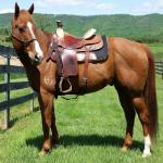 **Video** Head/Heel Finished Gelding Ready to Win!
