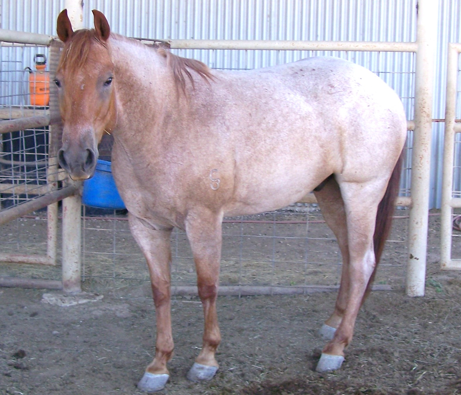 2001 Good Looking Solid Head Horse