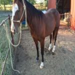 Jackpot Head & Heel Horse
