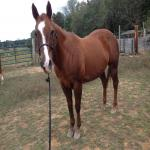 SOLID HEEL HORSE! AUTOMATIC!